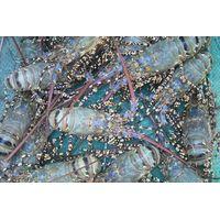 Live Lobster Viet Nam, AFV Import Export Company thumbnail image