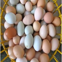 African Grey Parrot eggs for sale from Thailand thumbnail image