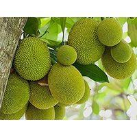 Jackfruit thumbnail image