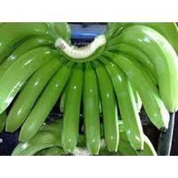 Fresh Green Cavendish Banana for Sell thumbnail image