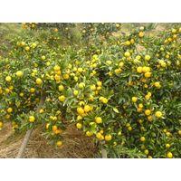 baby orange,sweet orange,honey orange thumbnail image
