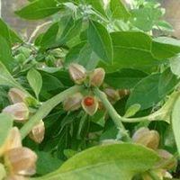 Ashwagandha(Withania Somnifera) Extract1.5% -5.0%Withanolides