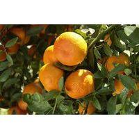 Citrus thumbnail image