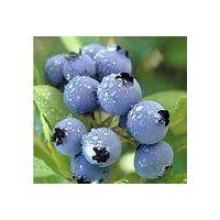 blueberries thumbnail image