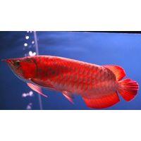 Arowana Ornamental fish