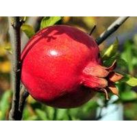 Pomegranate Rind P.E.