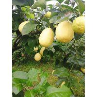 Fresh lemon thumbnail image