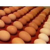 Brown chicken eggs (competitive price) thumbnail image