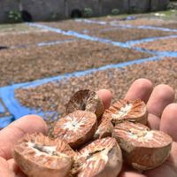 Dried Betel Nut / Areca Nuts Best Price. thumbnail image