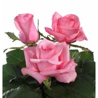 Lovely Jubilee pink rose