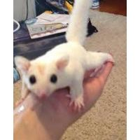 Sugar Glider,Young Sugar Gliders