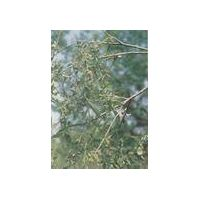 White Willow Bark Extracts  Salicin 15%  25% 50% 98%   HPLC