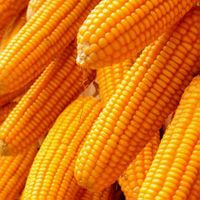 High Quality Yellow Corn
