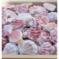 Scallop Sea Shell with High Quality and Best Price thumbnail image