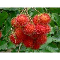 High Quality Tropical Fruits From Vietnam - Fresh Sweet Rambutan Fruit