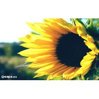 Sunflower meal and cake thumbnail image