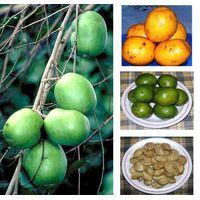 Irvingia gabonensis Seed Extract, African Wild Mango Seeds Extract thumbnail image