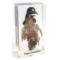 Qianfan Pigeon Dissection Specimen School Supply