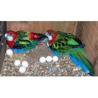 Healthy Parrots, macaws,cockatoos, African Grey parrots, live birds