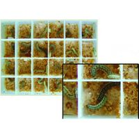 Spodoptera exigua larvae