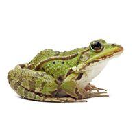 Frog - Rana Esculenta