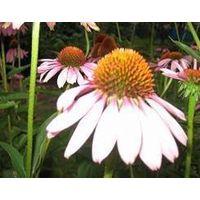 Echinacea Purpurea Herb Extract