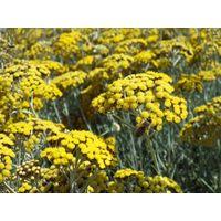 Immortelle essential oil - Helichrysum italicum essential oil