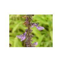 Coleus forskohlii (Willd.) Briq. Extract thumbnail image