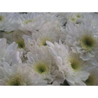 chrysanthemum atcetec queen