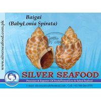 BAIGAI(Babylonia).Top Shell