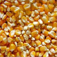 YELLOW CORNS YELLOW MAIZE FEED CATTLE FEED MAIZE