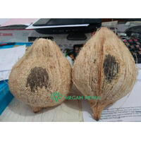 Indonesia Fresh Matured Semi Husked Coconut