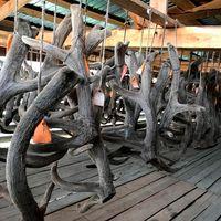 Altai Red Deer Velvet Antlers