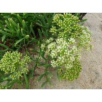 Crithmum maritimum essential oil - Sea fennel essential oil