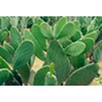 Cactus Extract 10:1 TLC, Caralluma Fimbriata Extract, Chinese manufacturer