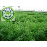 Green organic fresh hurb dill