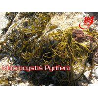 Seaweeds macrocystis Dried