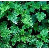 Nettle Root Extract, 3,4-Divanillyltetrahydrofuran thumbnail image