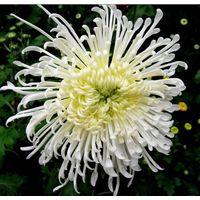 Supply Chrysanthemum Extract Powder