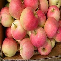 gala apple red fresh apple in china yantai apple thumbnail image