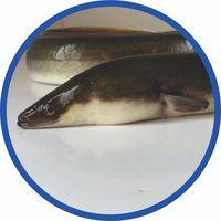 live eel anguilla anguilla