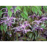 Epimedium grandiflorum.L  sales08@nutra-max.com