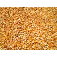 Yellow Corn / Maize for animal feed. Ukraine. Good Price!