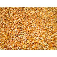 Yellow Corn / Maize for animal feed. Ukraine. Good Price!