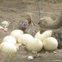Live healthy Ostrich Chicks and Ostrich eggs thumbnail image