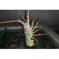 Live Flower Lobster VietNam, AFV Import Export Company thumbnail image