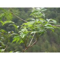 Dihydromyricetin 98% /Vine tea Extract, Rattan tea extract