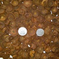 Betel Nuts/Areca Nuts Sliced Coins