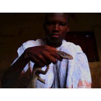 Live Varanus exanthematicus from Benin