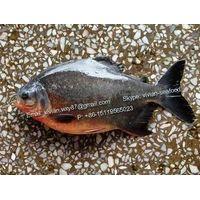 Frozen Red Pomfret Fish / Red Pacu (Piaractus brachypomus, Colossoma Brachypomum, Colossoma Bidens)